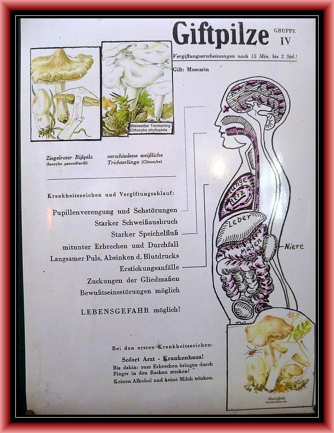 Gruppe 4: Muscarin - Syndrom. Teils heftige Vergiftungen, Lebensgefahr möglich!