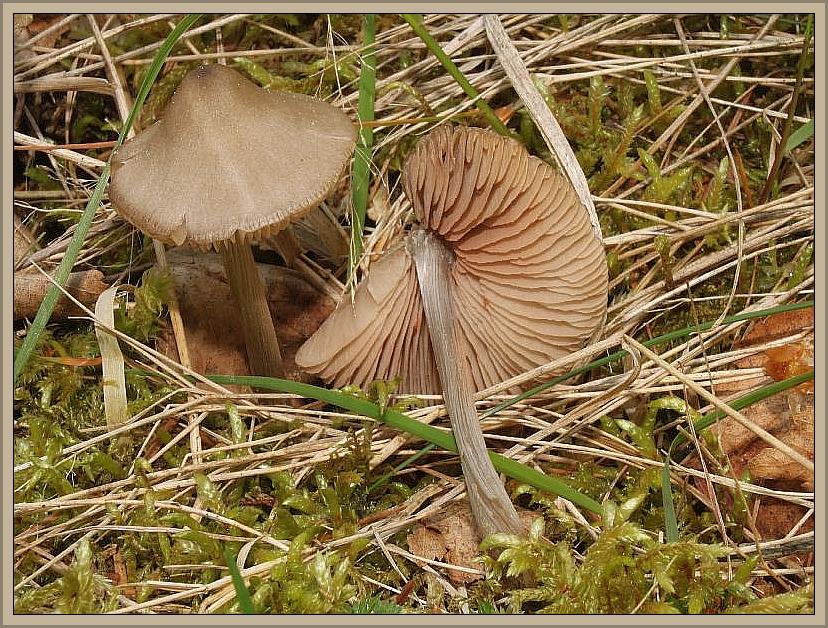 Scherbengelber Rötling (Entoloma cetratum). Dieser recht kleine und zerbrechliche Rötling wächst vom Frühjahr bis zum Herbst in Nadelwäldern unter Fichten und Kiefern. Der Hut wird bis zu 5 cm breit und ist anfangs kegelig und später ausgebreitet und gelbbraun gefärbt. Der Stiel mit ähnlicher Färbung ist eingewchsen silberfaserig und die Lamellen ockergelblich bis lachsfarben. Die Art wurde hier von Wilhelm Schulz bei Flattach an der Schmezhütte in Österreich fotografiert. Der Pilz ist aber auch in Mecklenburg an entsrechenden Standorten anzutreffen. Gefunden und bestimmt wurde diese Aufsammlung von Björn Wergen. Giftverdächtig.