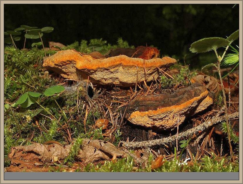 Fenchel - Tramete (Gloeophyllum odoratum). Die schöne und angenehm nach Fenchel duftende Porling wächst fast außschließlich an Fichtenstümpfen. Nur sehr selten wurde er laut Kreisel auch an Erle, Lärche oder Kiefer festgestellt. Besonders seine frisch wachsenden orange - bis rotbraun gefärbten Fruchtkörper sind sehr hübsch und dekorativ. Der Pilz verursacht im Holz eine Braunfäule. Ungenießbar. Das Foto hat uns Wilhelm Schulz zugesandt. Er hat die Pilze am 26.05.2013 bei Flattach - Schmelzhütte in Österreich fotografiert.