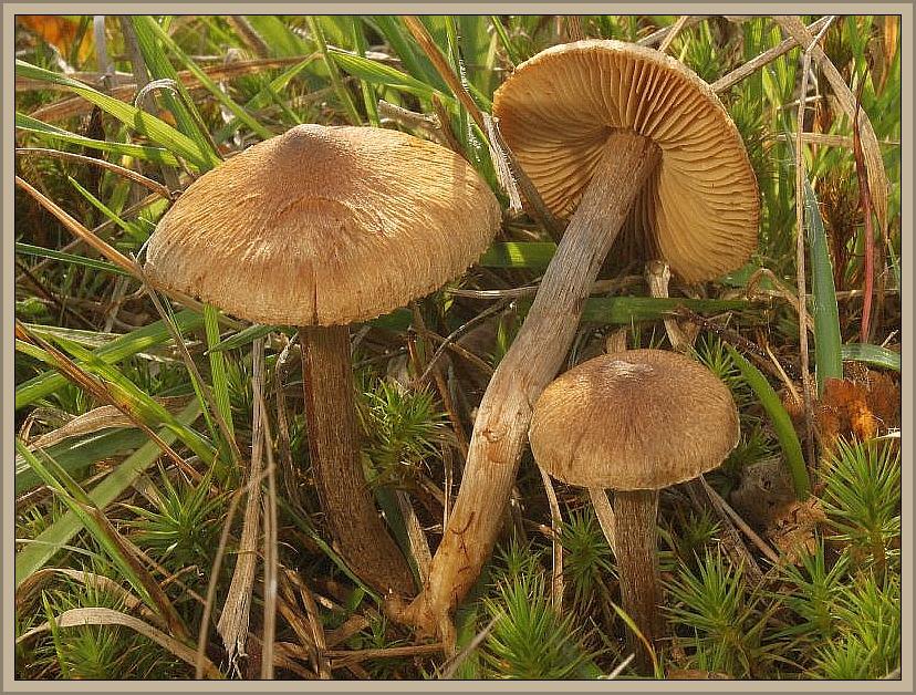 Den Lilastieligen Rißpilz (Inocybe cincinnata) hat Wilhelm Schulz am 31.10.2013 in Ravenvennen bei Arcen in den Niederlanden fotografiert. Er wächst recht häufig in Laub- und Nadelwäldern. Giftig!