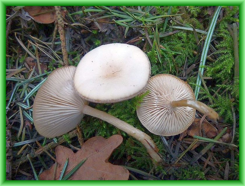 Dieser kleinere Blätterpilz erlebt zur Zeit zumindest in etwas feuchteren, moosreichen Fichtenwäldern ein richtigen Wachstumsschub. Ich habe in in den letzten Tagen in verschiedenen Wäldern an geegneten Standorten immer wieder gefunden. Die grauweißlichen Fruchtkörper mir rosa schimmer riechen zart und angenehm nach Anis. Es ist der schwach giftige Duft - Trichterling (Clitocybe fragrans). Er ist allerdings nicht auf den Frühling beschränkt, sondern kommt auch im Herbst sowie in milden Wintern vor. Standortfoto am 31.03.2014 im ehemaligen Staatsforst Turloff bei Kobrow.