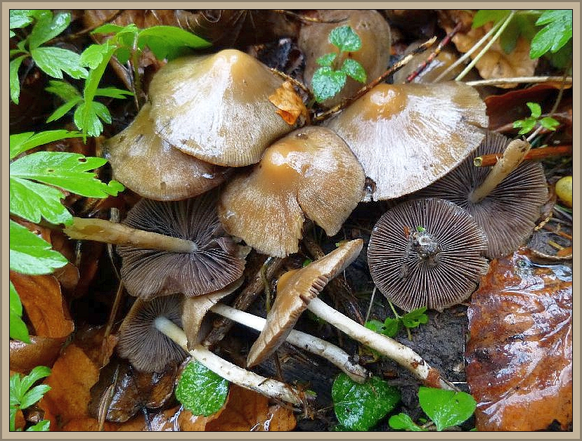Frühlingsmürblinge (Psathyrells spadiceogrisea)