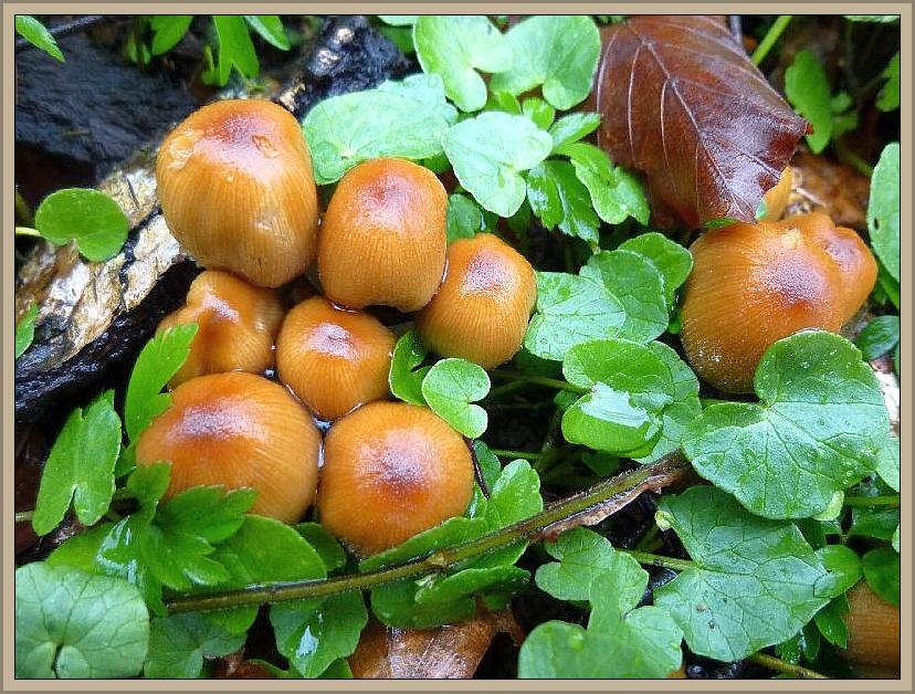 Glimmer - Tintling (Coprinus micaceus)