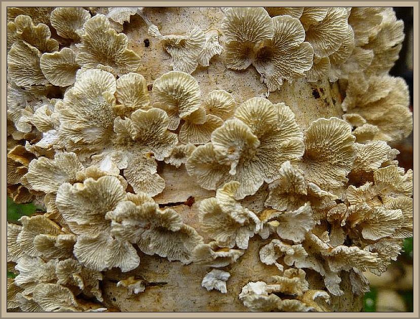 Dieser Pilz war noch vor einigen Jahren eine große Rarität in Mecklenburg - Vorpommern. In den letzten Jahren unterliegt er einer starken zunahme und ist inzwischen nahezu in jedem guten Buchenbestand anzutreffen. Hier habe ich ihn heute allerdings an relativ frisch gefällten Birkenstämmen gefunden. Es handelt sich um den Krausen Aderzähling (Plicatura crispa). Ungenießbar.