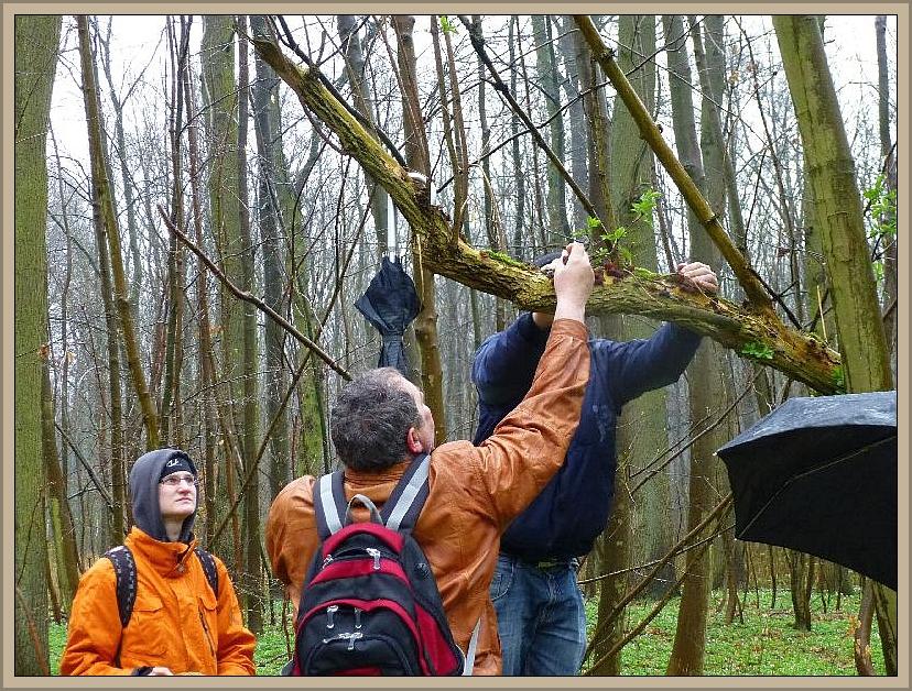 So geht es am besten: einer drückt den Stamm herunter und der andere sammelt die Ohren ab. Schluß mit dem großen Lauschangriff mitten im Wald!