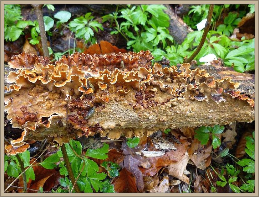 Schichtpilze, so wie diese sehr häufigen Striegeligen Schichtpilze (Stereum hirsutum) besitzen auf der Unterseite weder Poren noch Lamellen. Wir sehen hier nur eine glatte Schicht, es sind ebend Schichtpilze! Ungenießbar.