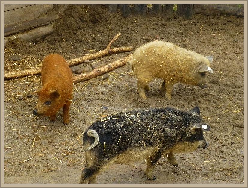 Drollig und putzig waren diese jungen Wollschweine die seit vkurzem im Steinzeitdorf Kussow zu bewundern sind. Ob sie wohl auch Trüffel suchen können?