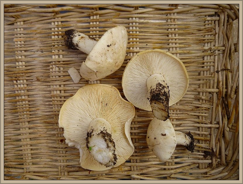 Diese schönen Maipilze wurden schon im Vorfeld kurz vor Beginn unserer Wanderung von den aus Hamburg angereisten Pilzfreunde gefunden.