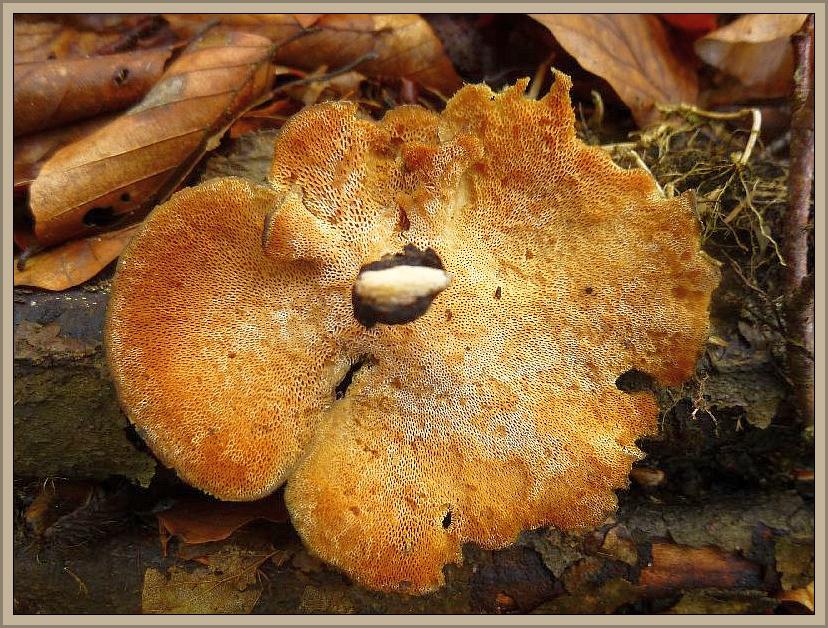 Auch dieser Winter - Stielporling (Polyporus brumalis) wuchs gleich zu Anfang an Laubholz. Er wird ab April allmählich vom Mai - Stielporling, mit wesentlich feineren Poren auf der Unterseite abgelöst. Beide sind ungenießbar.