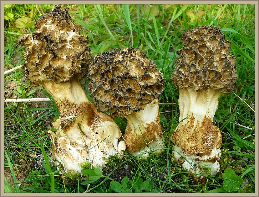 So wie diese Dickfuß - Morcheln (Morchella esculenta var. crassipes) aus Schwerin, sehen Morcheln aus, die dem trockenen Ostwind und Sonneneinstrahlung ausgesetzt waren. Die dunklen Bereiche sind Trockenschäden. Am besten verwendet man solche Pilze nicht mehr zu Speisezwecken. Gerade die Dickfuß - Morchel steht im Verdacht öfters Unverträglichkeitsreaktionen auszulösen. Möglicherweise ist dieses auf derartige Umstände zurück zu führen oder sie sind einfach schon zu alt und Überständig.