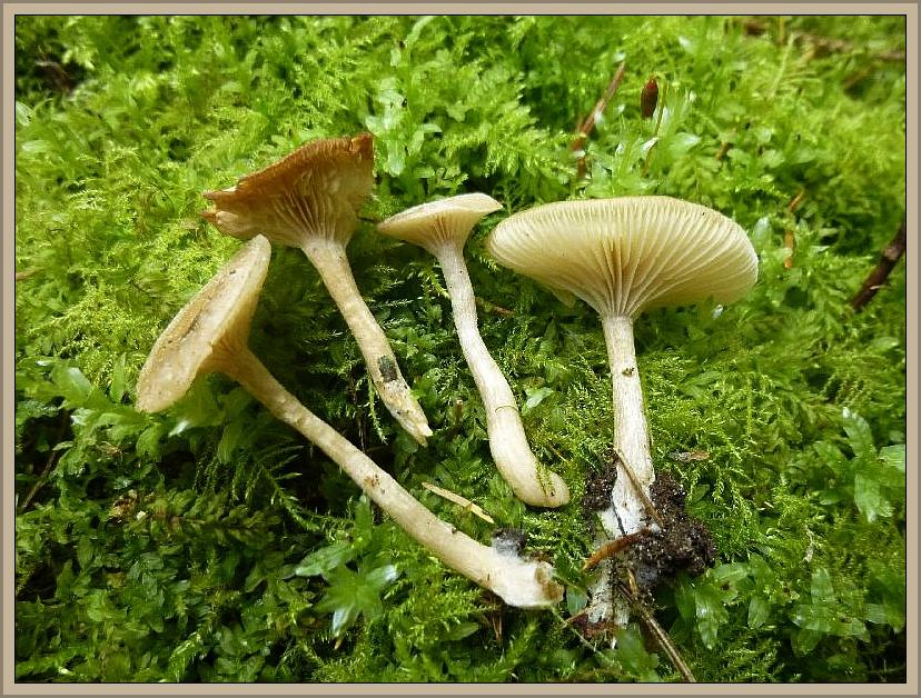 Im moosreichen Fichtenwald erfreuten uns wieder die schwach giftigen, wunderbar nach Anis duftenden Duft - Trichterlinge (Clitocybe fragrans).
