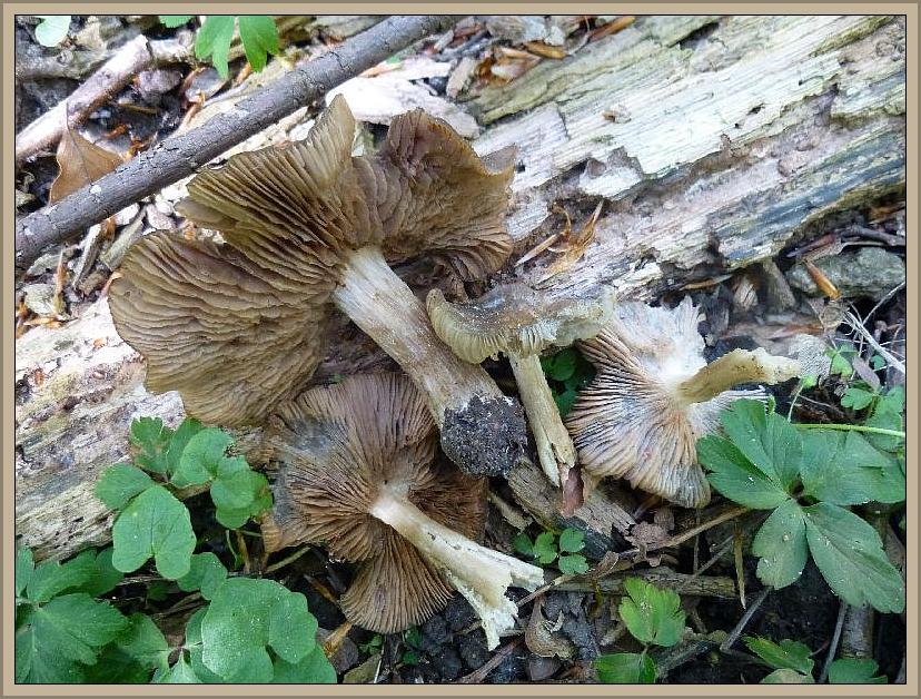 In einem feuchteren Erlen/Eschenbestand, einem typischen Morchelstandort, wuchsen diese recht kräftigen Rötlinge. Da hier keine Rosengewächse auszumachen waren, wird es sich höchstwahrscheinlich um den April - Rötling (Entoloma aprilis) handeln. Kein Speisepilz.