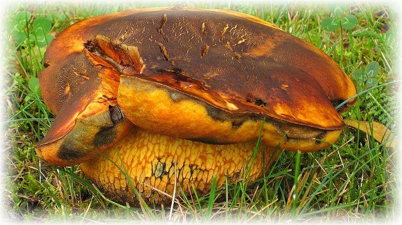 Mit diesem wunderschönen Bild eines etwas aus der Art geschlagenen Netzstieligen - Hexen - Röhrlings (Boletus luridus) von unserem Tagebuchleser Hildebrandt möchte ich das Mai - Tagebuch 2014 schließen.