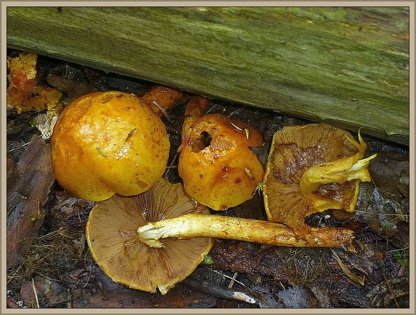 Aus einem liegenden Laubholzstamm wuchsen einige Goldfell - Schüpplinge (Pholiotta aurivella). Sie wurden zunächst von einigen Pilzfreunde für Sparrige Schüpplinge gehalten. Diese besitzen aber zahlreiche, sparrig abstehende Schuppen auf Hut und Stiel und sind niemals schleimig. Geringwertig. Standortfoto.