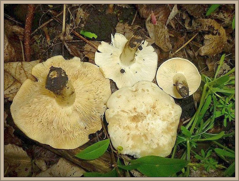 Es gab auch noch einige Hexenringe von Maipilzen (Calocybe gambosa), die Qualität ließ aber zu wünschen übrig.