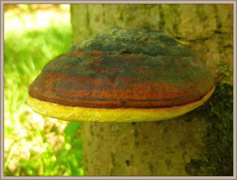 Sehr dekorativ und besten zum Basteln von Gestecken geeignet ist der Rotrandige Baumschwamm (Fomitopsis pinicola). Er wird auch oft als Fichtenporling bezeichnet, was allerdings nur bedingt zutrifft. Hier wuchs er an Erle. Wir finden ihn aber beispielsweise auch an Birke, Rotbuche, Kiefer und natürlich sehr gerne an Fichten. Er kann in der Farbe sehr vielfältig sein und ist dadurch für ungeübte nicht immer leicht kenntlich. Man präge sich aber seinen herbsäuerlichen Geruch ein, an dem man ihn sogar mit verbundenen Augen wieder erkennen kann. Es gibt allerdings noch einen eher seltenen resupinaten Porling, der den gleichen Geruch besitzt.