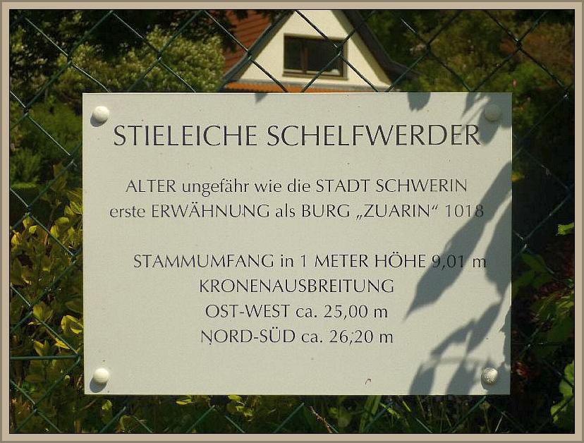 Es handelt sich um den ältesten Baum der Landeshauptstadt Schwerin - eine tausendjährige Stieleiche!