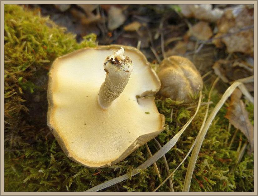 An einem bemoosten Laubholzast dann die ordnungsgemäß in die Jahreszeit gehörenden Mai - Stielporlinge (Polyporus lepideus). Ungenießbar.