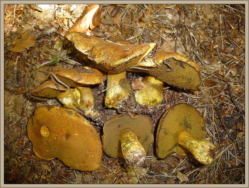 Sand - Röhrlinge (Suillus variegatus) sind vor allem im Spätsommer und Herbst in sandigen Kiefernwäldern anzutreffen. Hier bei Graal - Müritz treten sie regelmäßig schon im Frühling auf. Foto am 04.05.2014 in der Rostocker Heide. Essbar.