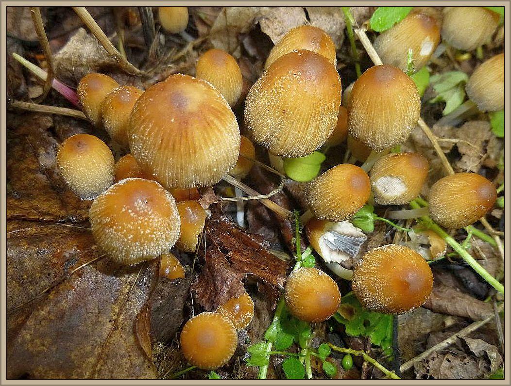 Auch verschiedene Tintlinge gab es immer wieder. Hier sehen wir den häufigen Glimmertintlnig (Coprinus micaceus) mit seinen glimmerigen Schüppchen auf dem gelbbräunlichen Hut. Jung essbar, aber Vorsicht bei Alkohol! Standortfoto auf der Insel Poel.