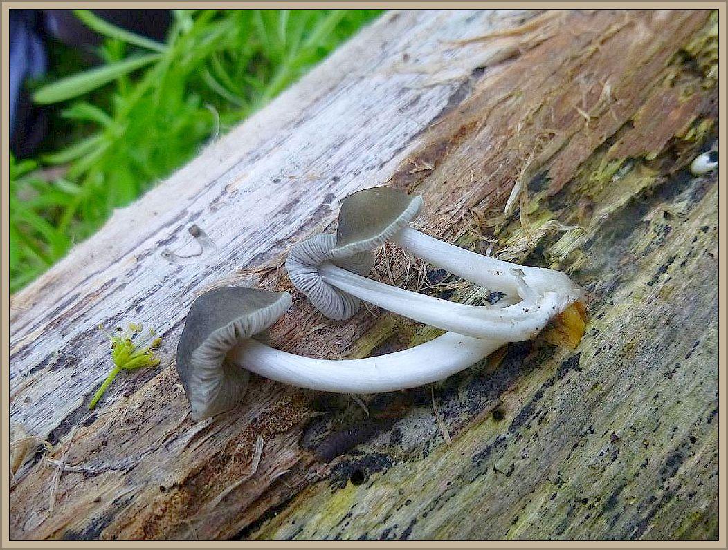 Gleiches gilt für diesen recht markant aussehenden Dachpilz (Pluteus specc.). Grauer Hut, glasigweißer Stiel.
