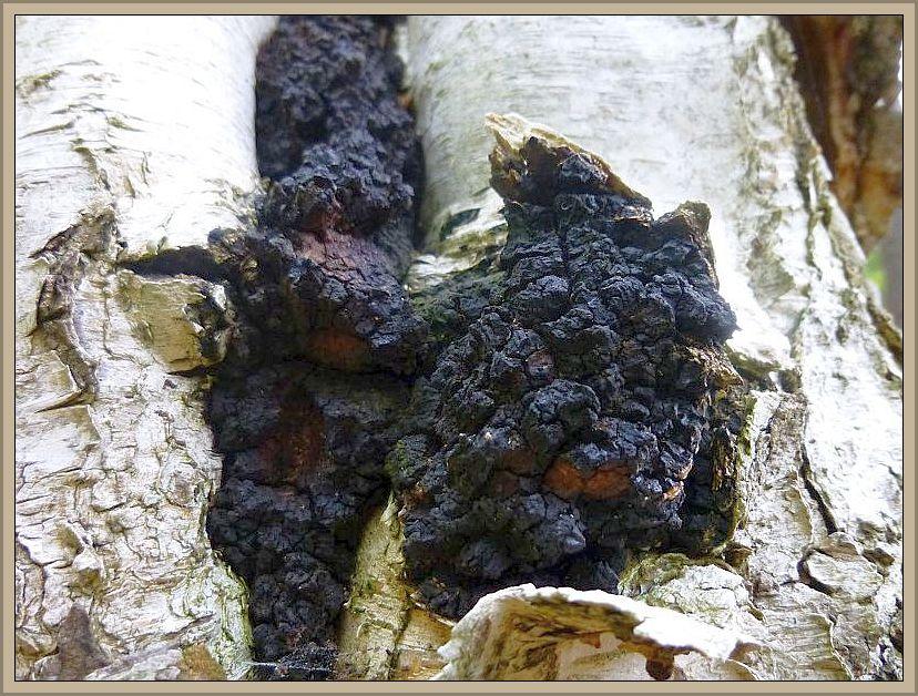 An einer Birke sehen wir hier den für Pilfreunde, die an einer Gesundheitsfördende Wirkung mancher Pilzarten interssiert sind, ein sehr interessanter Porlöing. Der Schiefe Schillerporling (Inontus obliquus), auch als Tschaga bekannt.