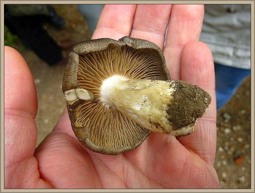 Dieser Pilz wurde aber noch nicht im Braguner Holz gefunden, sonder von Jochen zur Bestimmung mit gebracht. Er wuchs unter einer Schlehenhecke mit zahlreichen weiteren Artgenossen. Es handelt sich um den Schild - Rötling (Entoloma clypeatum), einem guten Speisepilz.