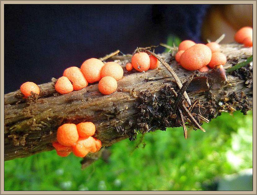 Es handelt sich um einen Schleimpilz, genauer gesagt um den Blutmilchpilz (Lycogala epidendron).