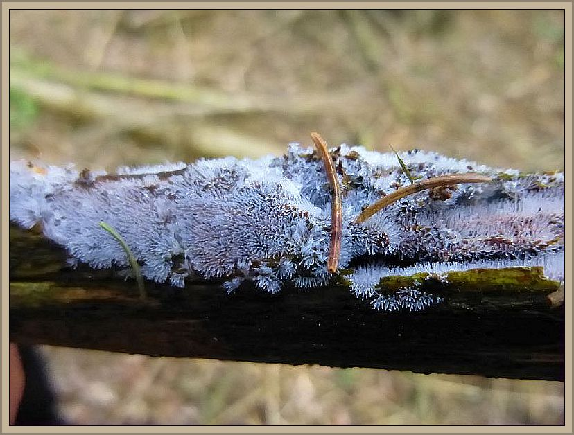 Auch dieses sind Myxomyceten, also Schleimpilze. Um welche Art es sich handelt, entzieht sich allerdings meiner Kenntnis. Schleimpilze bilden das Bindeglied zwischen dem Pilz- und dem Tierreich.
