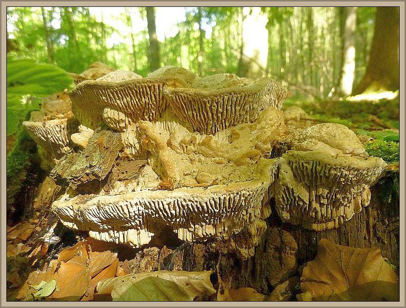Der korkig - lederige Eichen - Wirrling (Daedalea quercina) ist einer unserer markantesten Porlinge. Er wächst ausschließlich an Eichenholz und ist praktisch kaum zu verwechseln. Ungenießbar, aber zum Basteln sehr gut geeignet und hällt sich viele Jahre ohne in Zerfall über zu gehen.