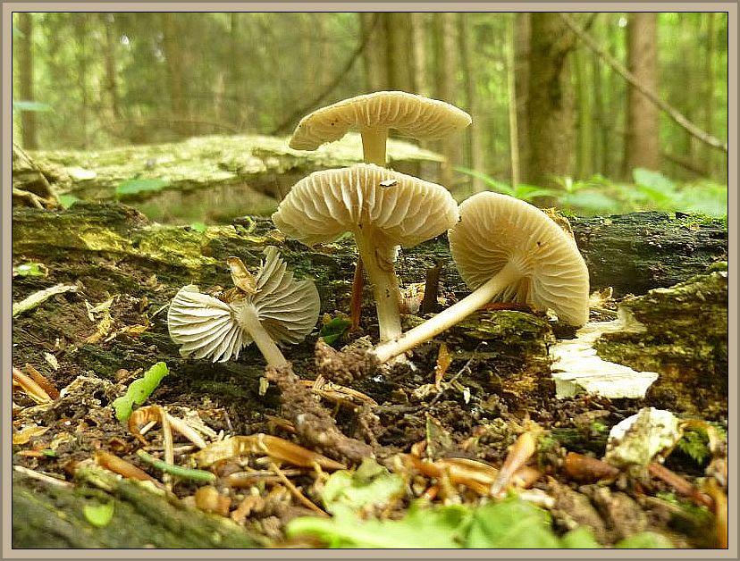 Der einzige Speisepilz, der dazu noch ausgezeichnet schmecken soll, den es in der artenreichen Gattung der Helmlinge gibt, ist der Rosablättrige Helmling (Mycena galericulata). Er war in beiden Büchern enthalten.