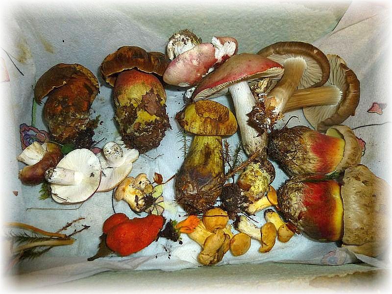Da ich kaum Frischpilze in der Ausstellung hatte, brachte mir Pilzfreundin Angelika Boniakowski diese kleine Kollektion ganz frisch aus dem Wald mit. Damit konnte ich dann unsere Pilzschau noch deutlich aufwerten. Vielen Dank nochmals!