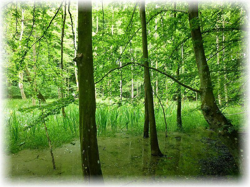Zwischendrin märchenhaft schöne Feuchtareale. Hier mit einem ausgedehnten Bestand vom Sumpf - Schwertlilien.n