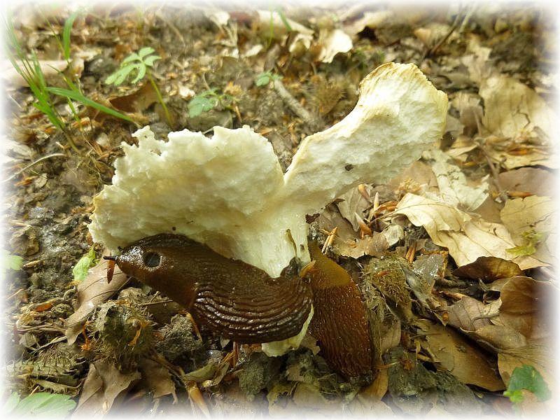 Am einzigen Frauen - Täubling (Russula cyanoxantha) taten sich dicke Nacktschnecken gütlich. Sie wissen anscheinend was gut schmeckt.
