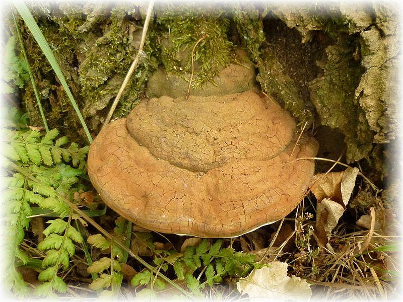 Am Fuße eines alten Kirschbaumes dann der erste Pilz. Ein Flacker Lackporling (Ganoderma lipsiense). Er ist ein Schwächeparasit und erzeugt im Holz eine Weißfäule.