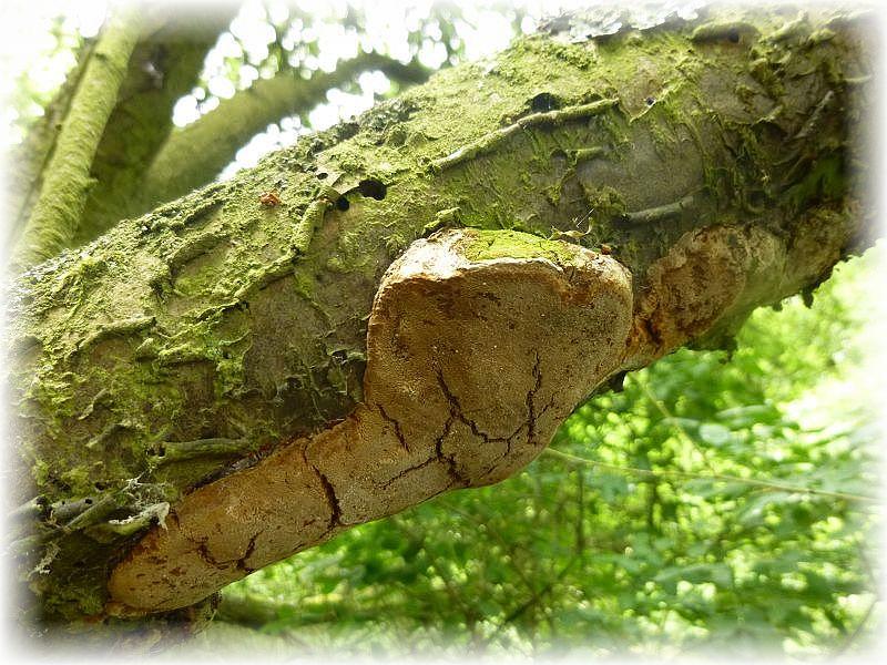 An Schlehengebüsch gab es immer wieder den Pflaumen - Feuerschwamm (Phellinus tuberculosus). Feuerschwämme sind Wundparasiten und können auch saprophytisch eine Weile weiterleben. Sie verursachen eine Weißfäule z.T. aber auch eine Weißlochfäule.