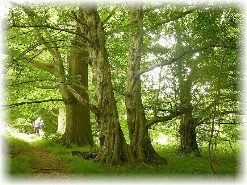 Immer wieder gigantische und uralte Baumriesen wie aus dem Märchen. Man könnte meinen, in jedem dieser Riesen verbirgt sich ein verzauberter Waldgeist. Das muss man einfach in natura gesehen haben!