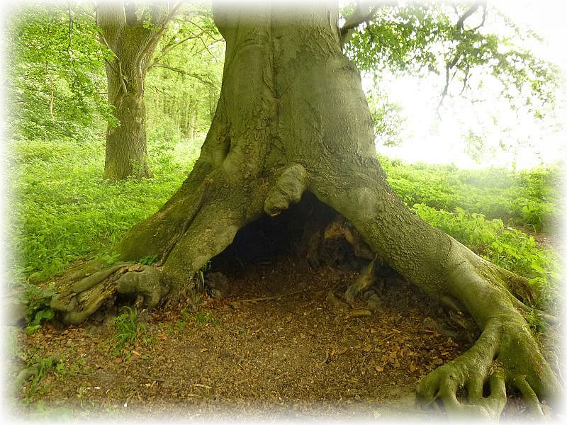 Wer es vor Einbruch der Dunkelheit nicht mehr aus dem Wald geschaft hat, für den bietet diese alte Buche einen überdachten Unterschlupf. Ein wunder das sich dieser mächtige Baum trotz dieser Aushöhlung noch halten kann. Aber er besitzt ja noch kräftige Wurzeln, die ihn anscheinend fest genug im Erdreich verankern.