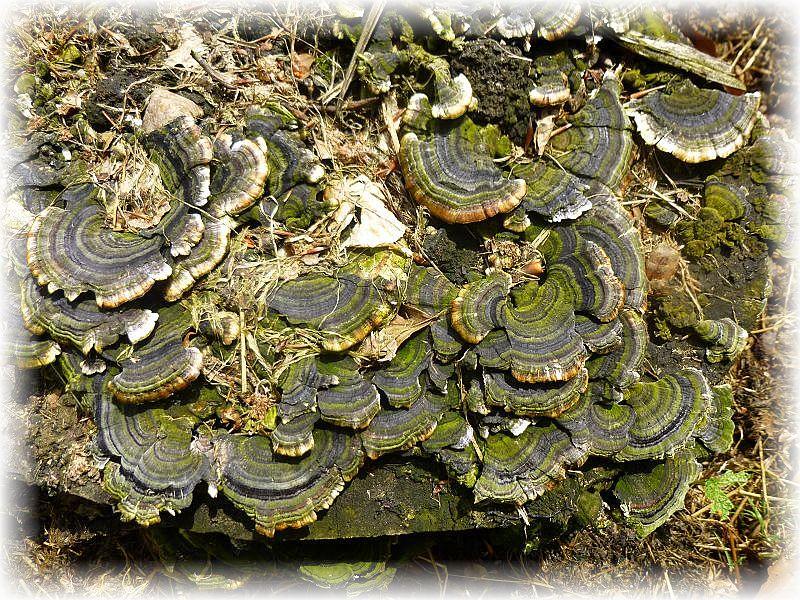 Schmetterlings - Tramete (Trametes versicolor).