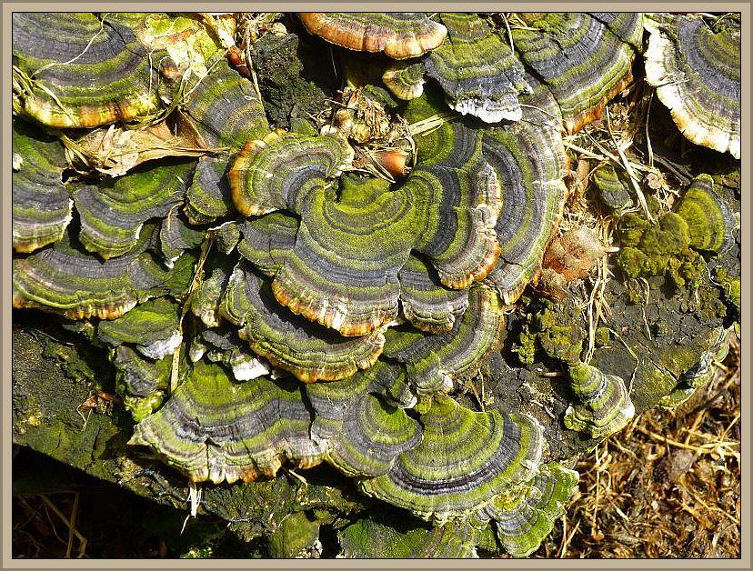 Diese sehr dekorativen Schmetterlings - Trameten (Trametes versicolor) habe ich gestern in den Rosenower Fichten fotografiert. Sie sind weit weniger von Niederschlagsereignissen abhängig und sind ganzjährig auf Laubholz - Stubben zu finden.