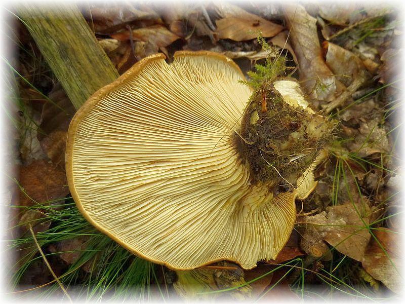 An alten Fichtenstubben erschienen nun auch schon die ersten Samtfuß - Kremplinge (Paxillus atrotomentosus). Sie sehe zwar recht appetitlich aus, sollen aber muffig schmecken und gelten deshalb als minderwertig. Der Stiel ist braunschwärzlich und wie mit Wildleder samtig überzogen.