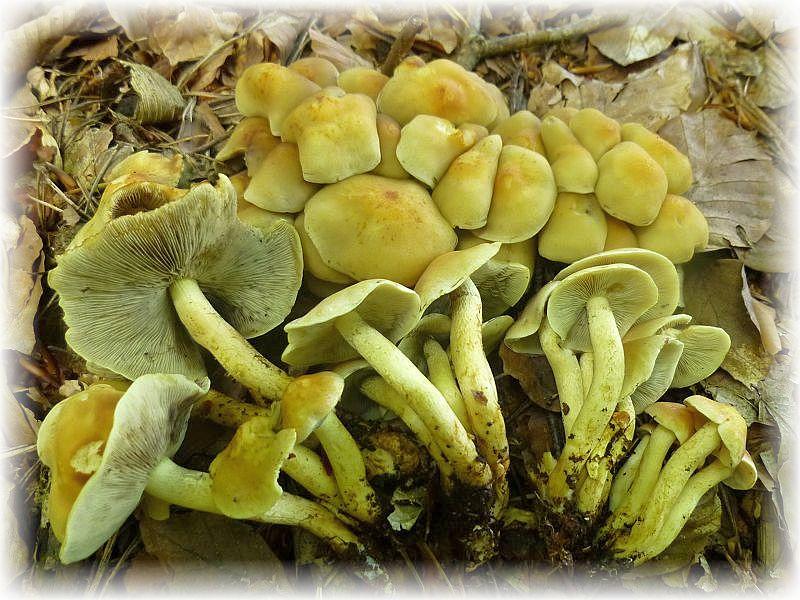 Um einigen alten Stubben herum standen einige Büschel des bitter schmeckenden und obendrein noch giftigen Grünblättrigen Schwefelkopfes (Hypholoma fasciculare). Standortfoto.