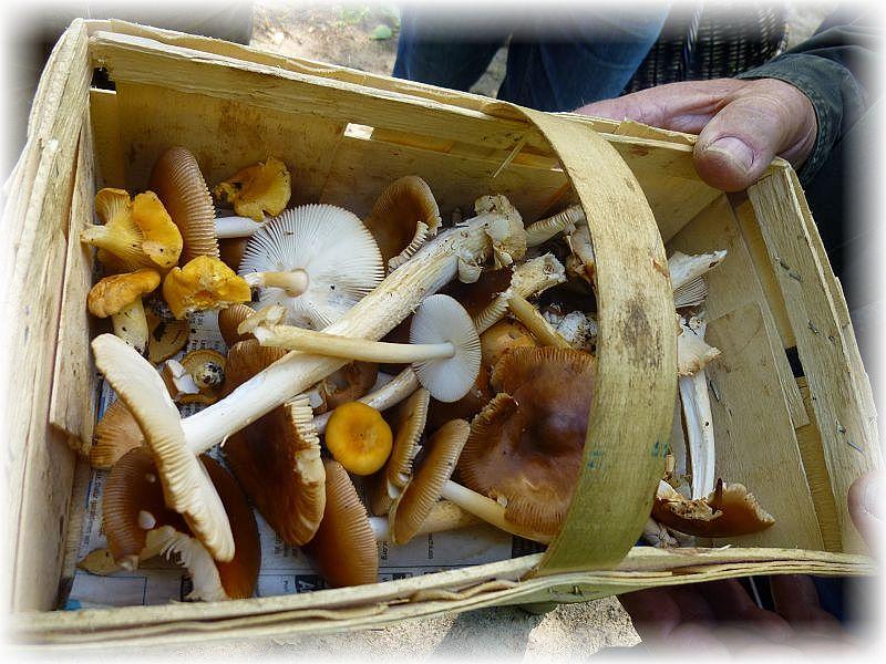 Für den Einen oder Anderen war heute auch eine kleine Pilzmahlzeit herausgesrungen. Scheidenstreiflinge waren in einem Buchenwaldstück wirklich in Megen zu finden und man hätte den Korb sicher ohne weiteres richtig Füllen können.