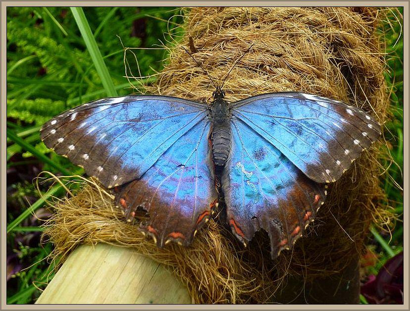 Mit diesem schönen Foto eines tropischen Himmelsfalters möchte ich das Juni - Tagebuch eröffnen. Natürlich ist es kein Pilz, aber ich finde das Foto einfach schön. Aufgenommen habe ich es am 15. Juni im Schmetterlingspark Klütz.