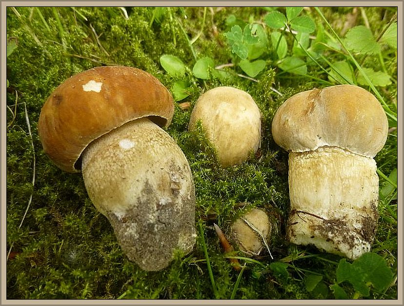 Der erste, stärkere Schub von Sommersteinpilzen (Boletus reticulatus) bahnt sich an. Ab dem nächsten Wochenende dürfte es auch in den Wäldern soweit sein. Standortfoto am Abend des 16. Juni 2014.