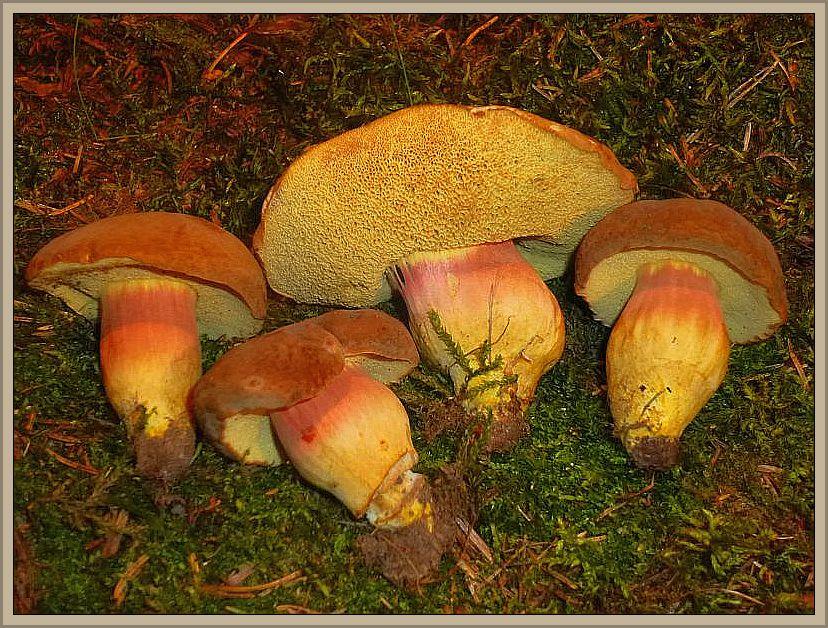 Diese schönen Eichen - Filzröhrlinge (Xerocomus quercinus) hat mir Pilzfreund Christian Ehmke heute morgen vorbei gebracht. Er hat sie praktisch vor seiner Haustür im Wismarer Stadtgebiet gefunden. Sie werden oft für Rotfuß - Röhrlinge oder Ziegenlippen gehalten. Sie wachsen nicht nur unter Eichen. Auch Linden in städtischen Anlagen geben einen beliebten Mykorrhiza - Partner ab. Im Gegensatz zum Rotfüßchen werden die Hüte kaum rißig und sie riechen auch nichtig obstartig, sondern angenehm pilzig. Ziegenlippen besitzen keine rötlichen Anflüge auf dem Stiel und ihre Röhrenmündungen leuchten noch intensiever gelb. Essbar. Die Pilze habe ich heute auf der Moosfläcke unserer Pilzausstellung fotografiert.