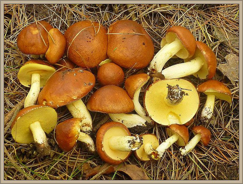 Mehrere Inseln frischer und fester Körnchen - Röhrlinge (Suillus granulatus) heute in der Kiefernaufforstung bei Jesendorf. Sie läuten den aktuellen Wachstumsschub endgültig ein. Standortfoto 20.06.2014.