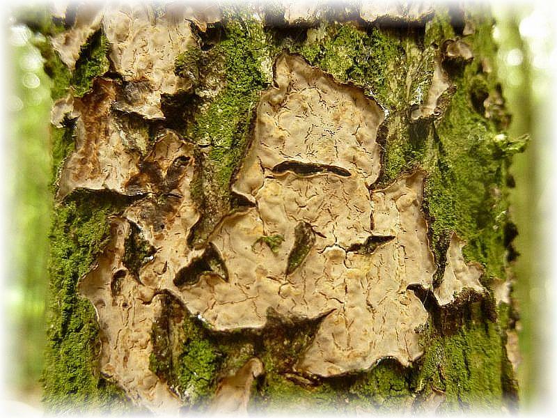Der Runzelige Schichtpilz (Stereum rugosum) ist eine häufige Art an Laubholz. Seine flächige Wachstumsweise nennt man Resupinat.