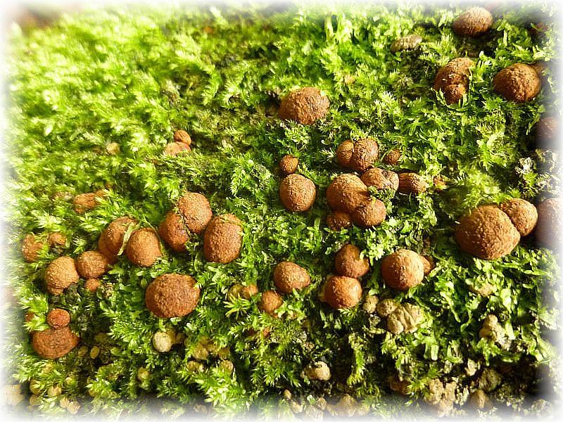 Hier junge Fruchtkörper der selben Art am gleichen Stamm.