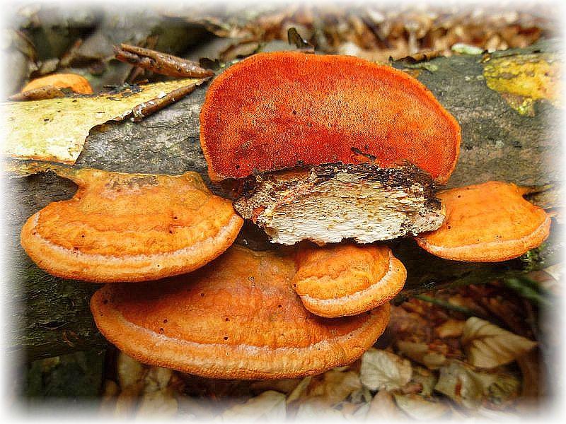 Eine Teilnehmerin fragte mich heute, warum es eigentlich kaum farbenfohe und bunte Pilze gebe. Ich Denke sie ist nur selten im Wald auf Pilzsuche unterwegs, denn in besseren Zeiten kann man durchaus viele bunte Pilze sehen. Allen voran Täublinge, Lachtrichterlinge und die leider eher seltenen Saftlinge, um nur wenige Beispieke zu nennen. Wie der Zufall es wollte, begeisterten uns kurze Zeit später diese wirklicxh auffälligen Farbtupfer an einem alten, trocken liegendem Buchenstamm. Es handelt sich um den Nördlichen Zinnoberschwamm (Pycnoporus betulinus). Ungenießbar.